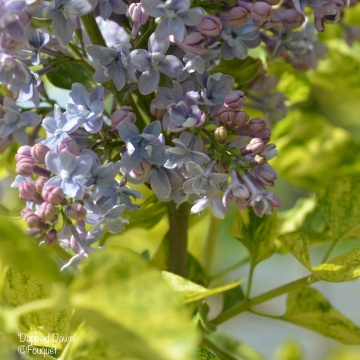 Lilas - Syringa - 'Dappled Dawn'