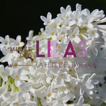 Lilas - Syringa - 'Agnes Smith'