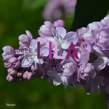 Lilas - Syringa - 'Alpenglow'