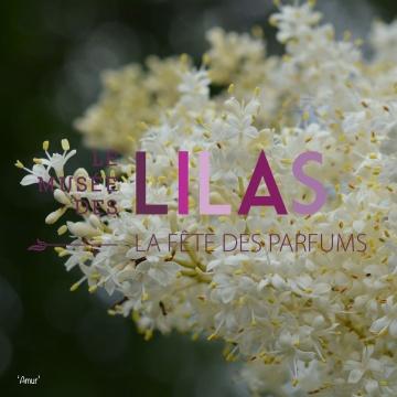 Lilas - Syringa - 'Amur'