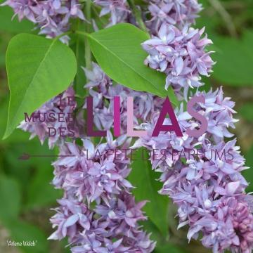 Lilas - Syringa - 'Arlene Welch'