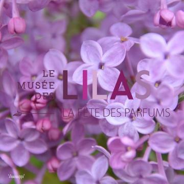 Lilas - Syringa - 'Asessippi'