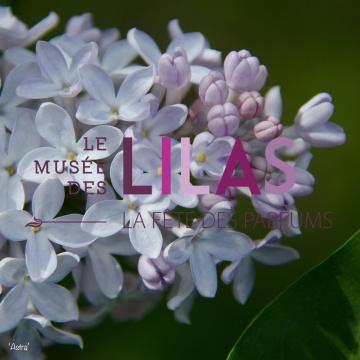 Lilas - Syringa - 'Astra'