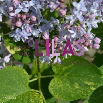 Lilas - Syringa - 'Aucubæfolia'
