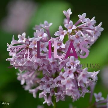 Lilas - Syringa - 'Audrey'