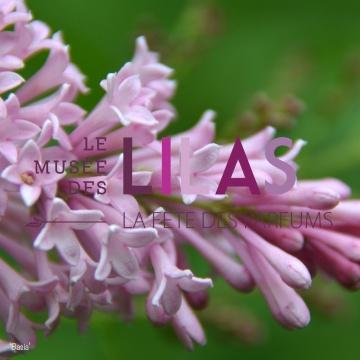 Lilas - Syringa - 'Basia'