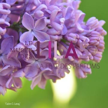 Lilas - Syringa - 'Calvin C. Laney'