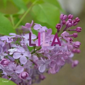 Lilas - Syringa - 'Campsie'