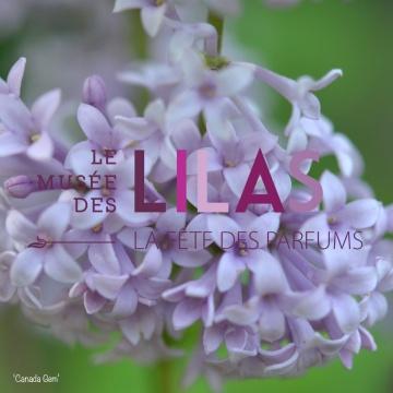 Lilas - Syringa - 'Canada Gem'