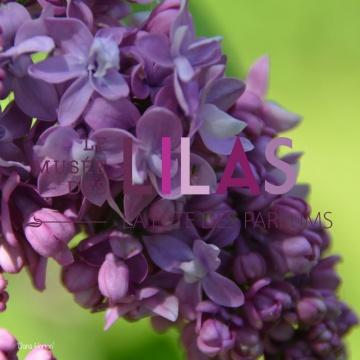Lilas - Syringa - 'Dana Horton'