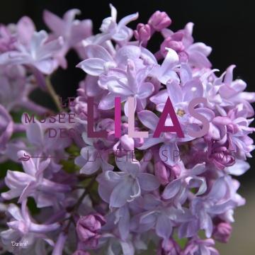Lilas - Syringa - 'Darlene'