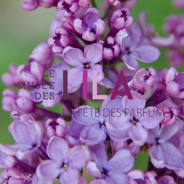 Lilas - Syringa - 'Dr von Regel'