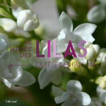 Lilas - Syringa - 'Edith Cavell'