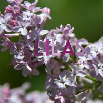 Lilas - Syringa - 'Ekenholm'