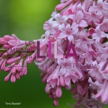 Lilas - Syringa - 'Ferna Alexander'