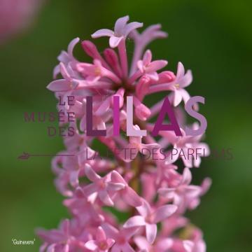 Lilas - Syringa - 'Guinevere'