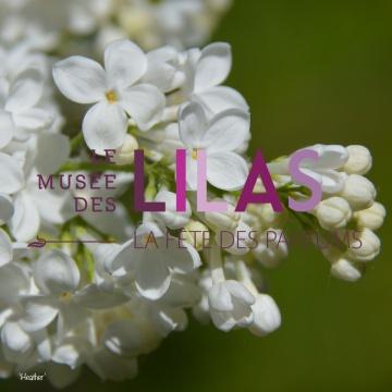 Lilas - Syringa - 'Heather'