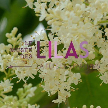Lilas - Syringa - 'Ivory Silk'