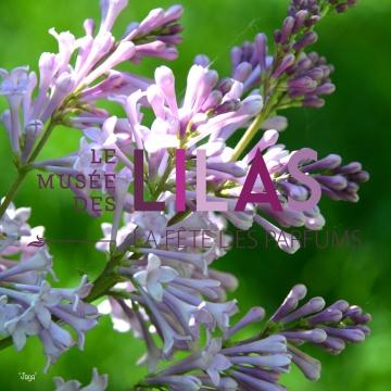 Lilas - Syringa - 'Jaga'