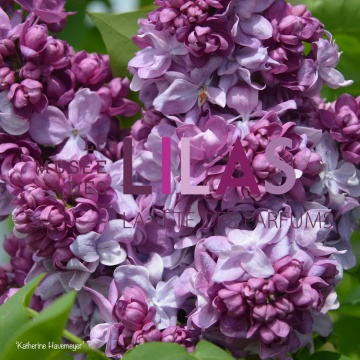 Lilas - Syringa - 'Katherine Havemeyer'