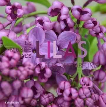 Lilas - Syringa - 'Kathy McGuire'