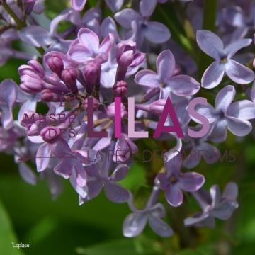 Lilas - Syringa - 'Laplace'