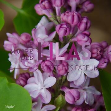 Lilas - Syringa - 'Magellan'