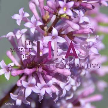 Lilas - Syringa - 'Odensala'
