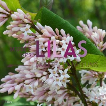 Lilas - Syringa - 'Pallens'
