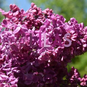 Lilas - Syringa - 'Redbud'
