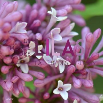 Lilas - Syringa - 'Redwine'