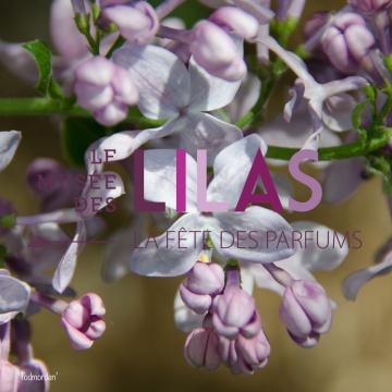Lilas - Syringa - 'Todmorden'