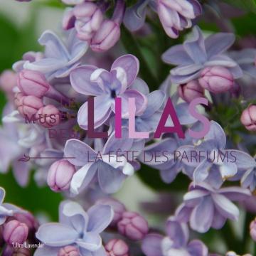 Lilas - Syringa - 'Ultra Lavender'