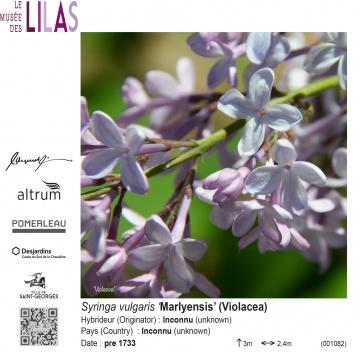 Lilas - Syringa - 'Marlyensis'