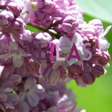 Lilas - Syringa - 'W. T. Lee'