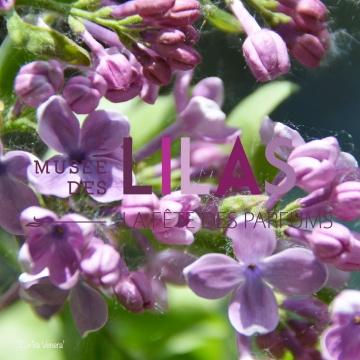 Lilas - Syringa - 'Zorka Venera'